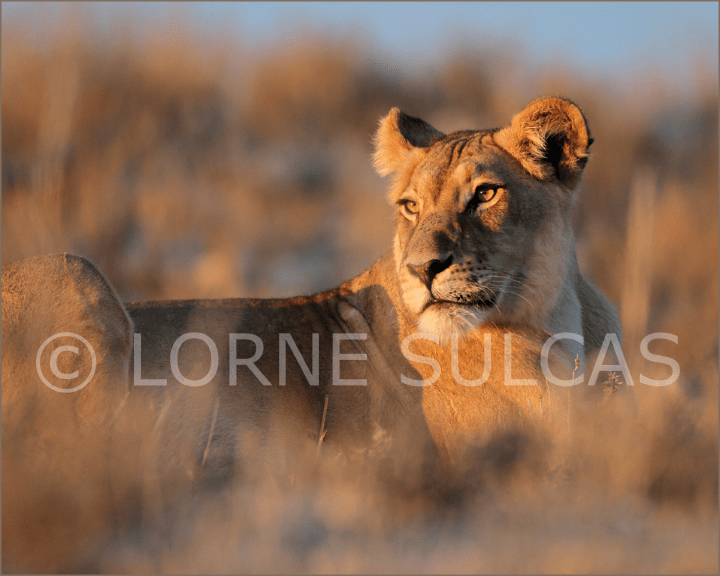 Motivational Speaker - Lorne Sulcas - The Big Cat Guy - Wildlife Photos - c21