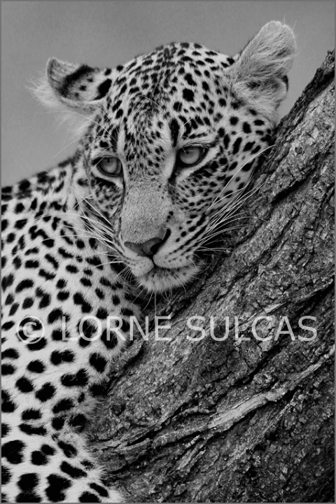 Motivational Speaker - Lorne Sulcas - The Big Cat Guy - Wildlife Photos - c7