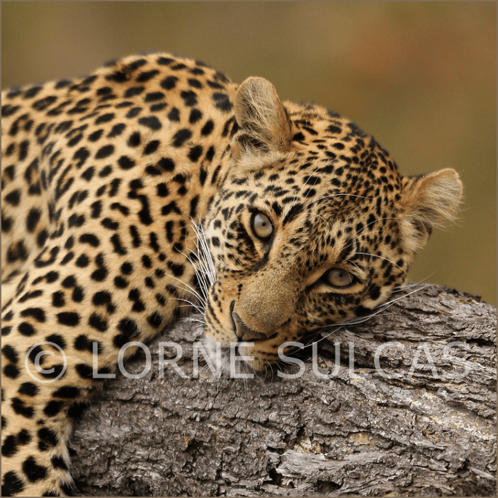 Motivational Speaker - Lorne Sulcas - The Big Cat Guy - Wildlife Photos - c17