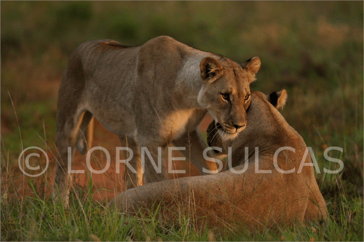 Motivational Speaker - Lorne Sulcas - The Big Cat Guy - Wildlife Photos - c3