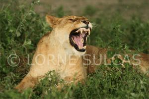 Motivational Speaker - Lorne Sulcas - The Big Cat Guy - Wildlife Photos - c6