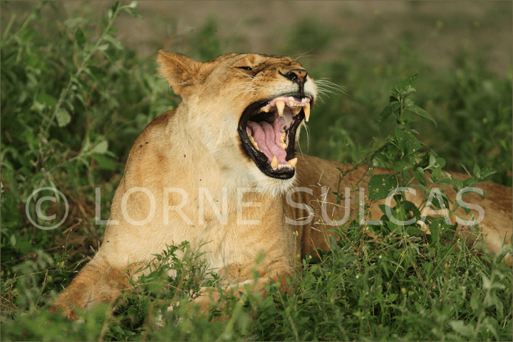 Motivational Speaker - Lorne Sulcas - The Big Cat Guy - Wildlife Photos - c6